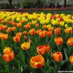 Tulipan - Festival da Tulipa (Clique na imagem para ampliar)